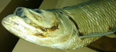 (Taxidermy) Tarpon Before